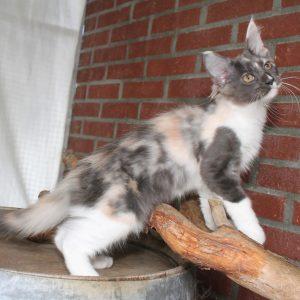 Kitten 3 Madou, 13 weken (3)